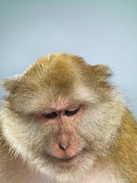 Looking Down Photograph - Studio Shot Of Macaque Monkey Looking by Jana Leon