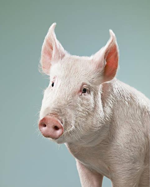 Pig Photograph - Studio Shot Of Pig by Jana Leon