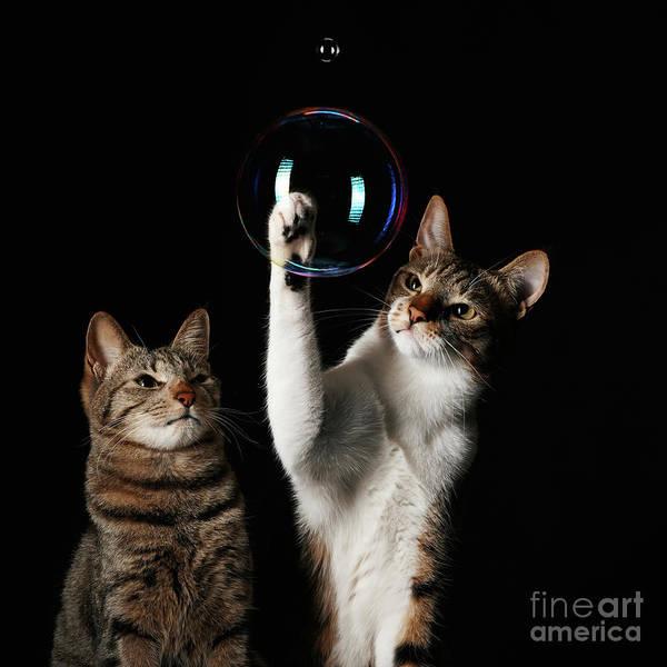 Wall Art - Photograph - Studio Shot Of Two Cats Playing With by Akimasa Harada