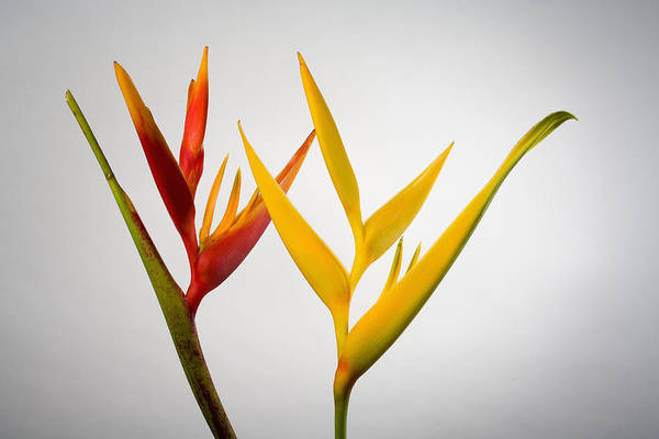 Heliconia Wall Art - Photograph - Studio Shot Of Two Heliconia, One Red by Design Pics/tomas Del Amo