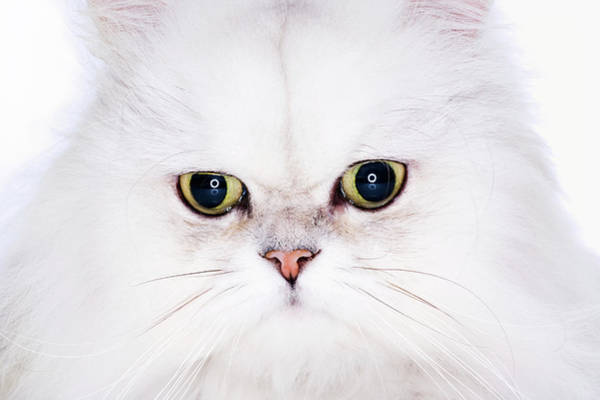 Photograph - Studio Shot Of White Persian Cat by Ultra.f