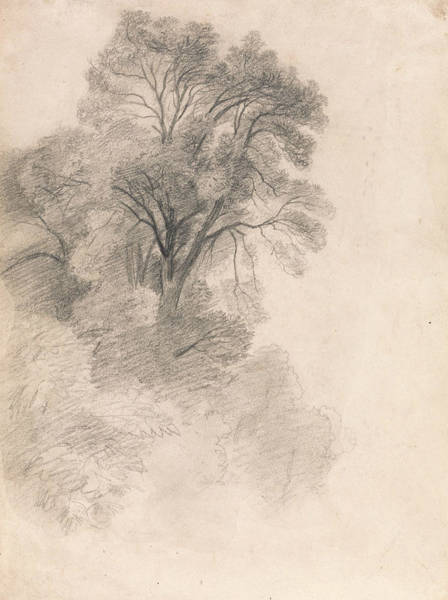 Ashes Drawing - Study Of Ash Trees by Lionel Constable