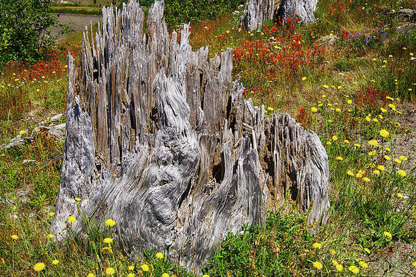 Photograph - Stumps Of Trees Shattered In The 1980 Eruption by Steve Estvanik