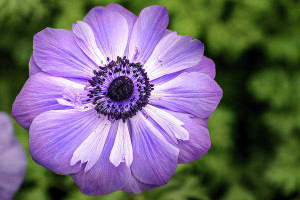 Photograph - Stunning Anemone by Don Johnson