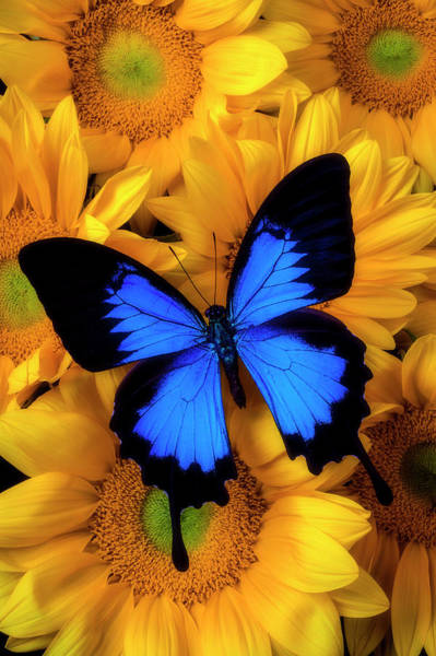 Photograph - Stunning Blue Butterfly On Sunflowers by Garry Gay