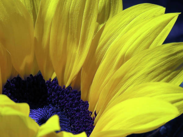 Photograph - Stunningly Beautiful Sunflower by Johanna Hurmerinta