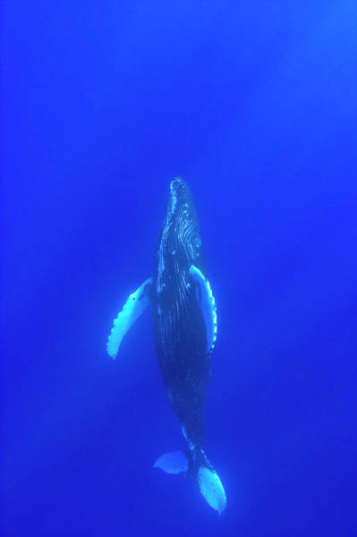 Wall Art - Photograph - Sub-adult Humpback Whale,central by Stuart Westmorland
