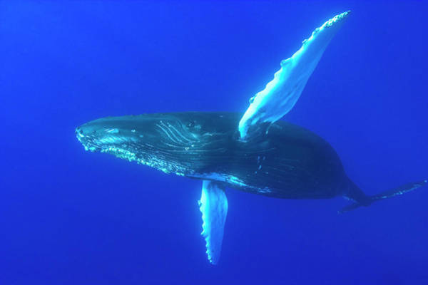 Wall Art - Photograph - Sub Adult Humpback Whales,central by Stuart Westmorland