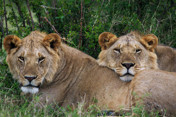Resting Photograph - Sub-adult Male Lions Resting by Anup Shah