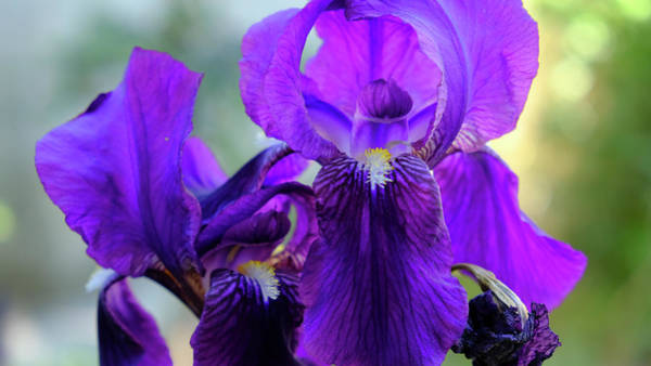 Photograph - Subtle Iris by August Timmermans