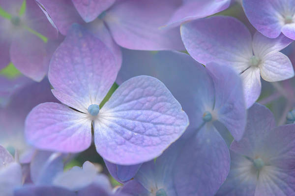 Photograph - Subtle Violet Refrain 1 by Jenny Rainbow