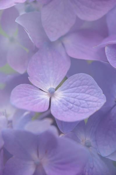 Photograph - Subtle Violet Refrain by Jenny Rainbow