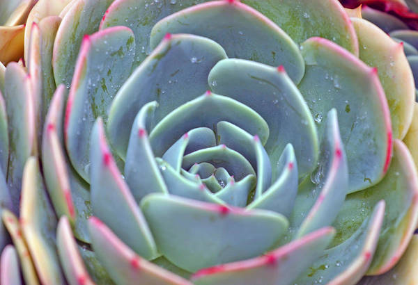 Photograph - Succulent by Anthony Jones