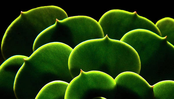 Santa Rosa Photograph - Succulent by Fogline Studio...photos Of Everythhing That Is Beautiful