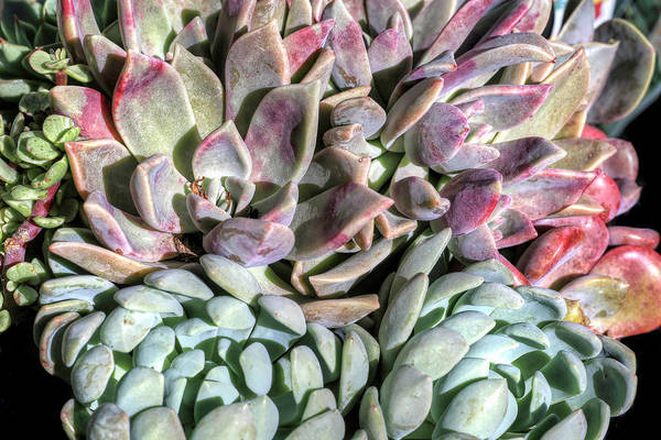 Photograph - Succulents by Donna Kennedy