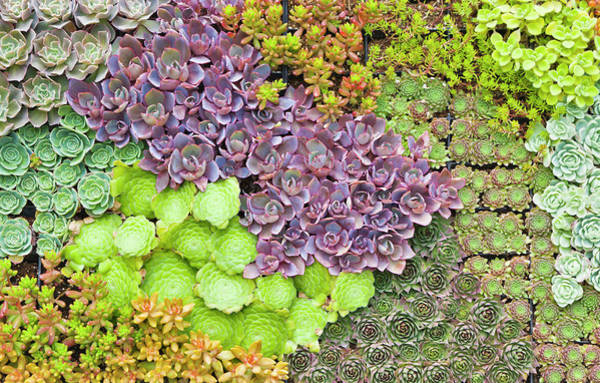 Succulent Photograph - Succulents Growing Vertically On Wall by David Madison