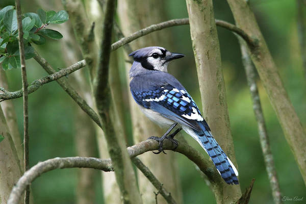Photograph - Such A Pretty Blue Jay by Trina Ansel
