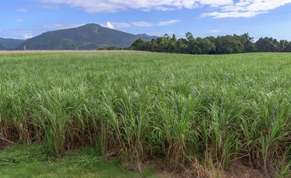 Atherton Tablelands Photograph - Sugar Cane Field by Kim Wilder Hinson