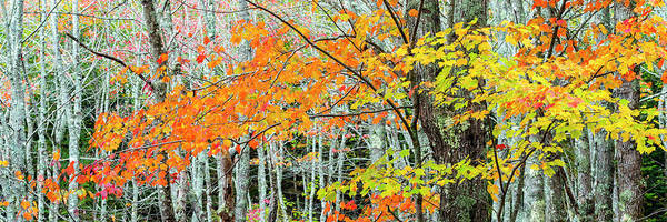 Acer Saccharum Photograph - Sugar Maple Acer Saccharum In Autumn by Panoramic Images
