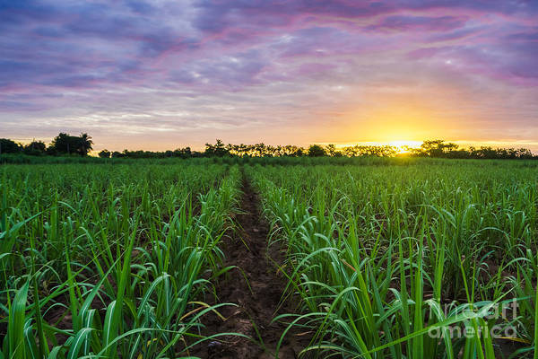 Fuel Wall Art - Photograph - Sugarcane Field At Sunset by Amornchaijj