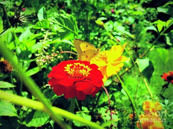 Sulfur Butterfly Wall Art - Photograph - Sulfur Butterfly  by Debra Lynch