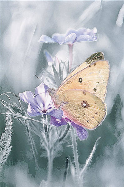 Sulfur Butterfly Wall Art - Photograph - Sulfur Butterfly by Michael Lustbader