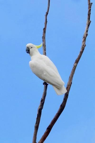 Photograph - Sulfur Crested Cockatoo  by Sarah Lilja