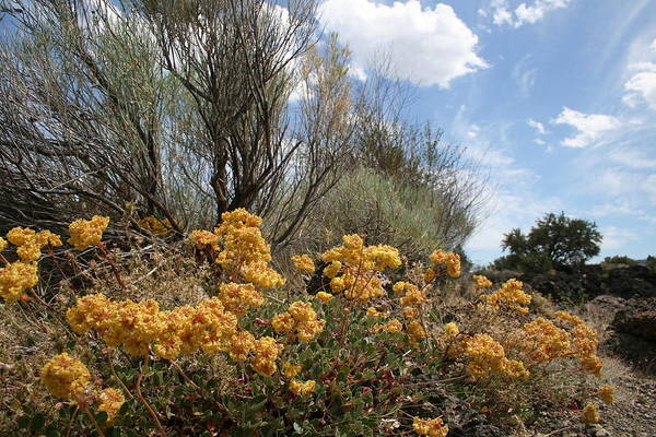 Photograph - Sulphur Brush by Dylan Punke