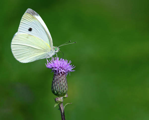 Wall Art - Photograph - Sulphur On Thistle by Art Cole