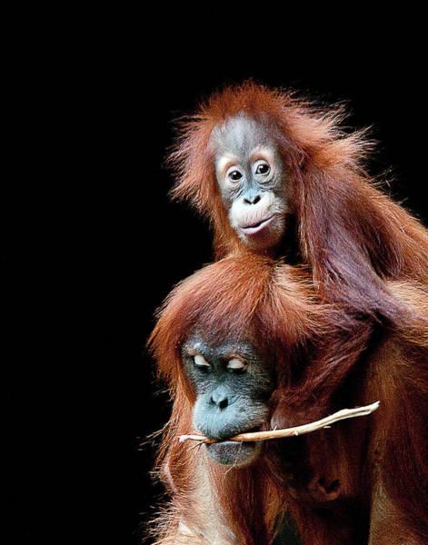Wall Art - Photograph - Sumatran Orangutan  Mother And Child by Gail Shotlander