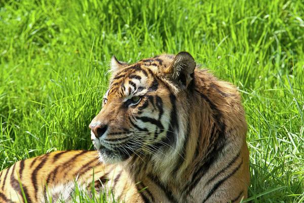 Resting Photograph - Sumatran Tiger At Rest by Jeffgoulden