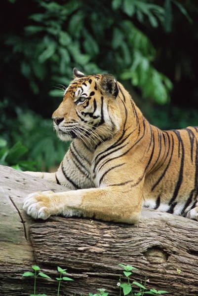 Wall Art - Photograph - Sumatran Tiger, Panthera Tigris by Ann & Steve Toon / Robertharding