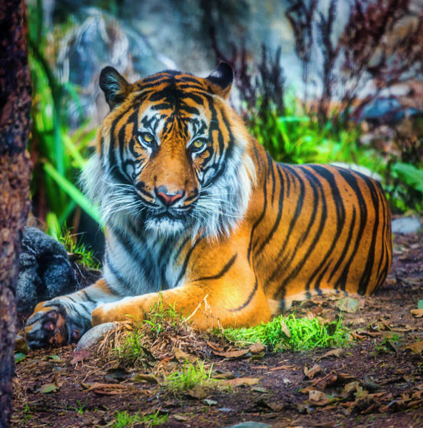 Wall Art - Photograph -  Sumatran Tiger Waiting For The Hunt by Garry Gay