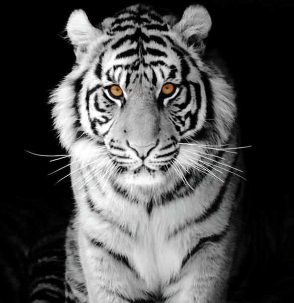 Wall Art - Photograph - Sumatran White Tiger by Ashour Rehana