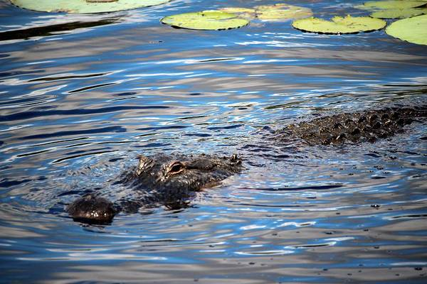 Photograph - Summer Alligator by Cynthia Guinn