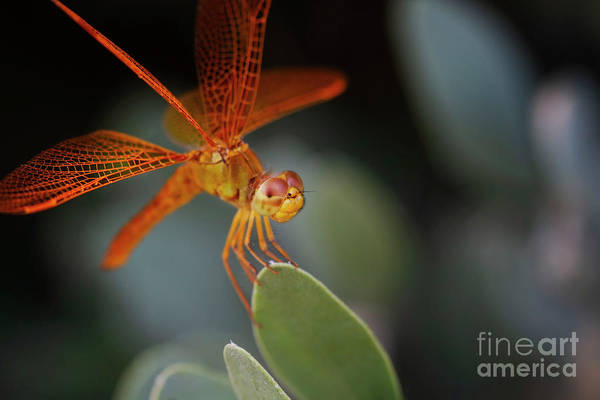 Wall Art - Photograph - Summer Amberwing Dragonfly by Ruth Jolly