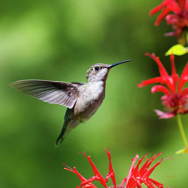 Photograph - Summer Beauty Hummingbird Square by Christina Rollo