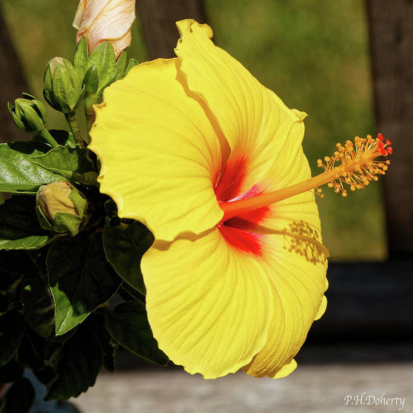Mallow Family Wall Art - Photograph - Summer Blooms by Phill Doherty