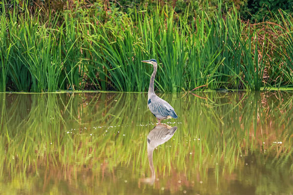 Photograph - Summer Blue Heron Reflection by Dan Sproul