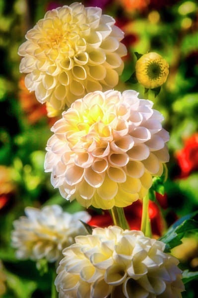 Wall Art - Photograph - Summer Dahlias by Garry Gay
