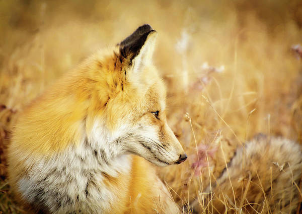 Wall Art - Photograph - Summer Dreaming Fox by Amanda Lakey