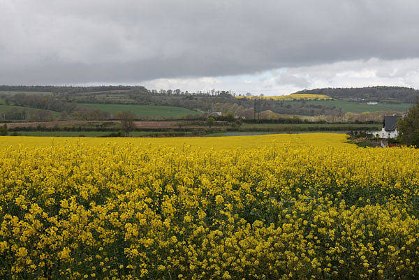 Mixed Media - Summer Field Of Rapeseed by Siobhan Dempsey