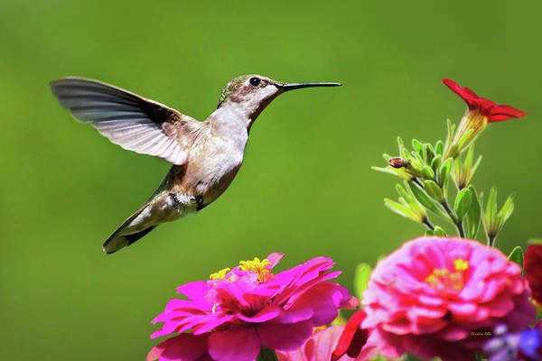 Photograph - Summer Hummingbird Love by Christina Rollo