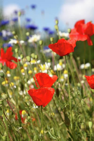 Vertical Garden Photograph - Summer Meadow With Poppy Cornflower by Schmitzolaf