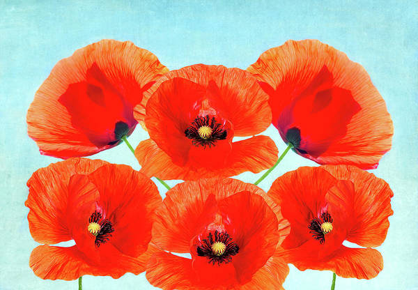 Wall Art - Photograph - Summer Poppies by Laura D Young