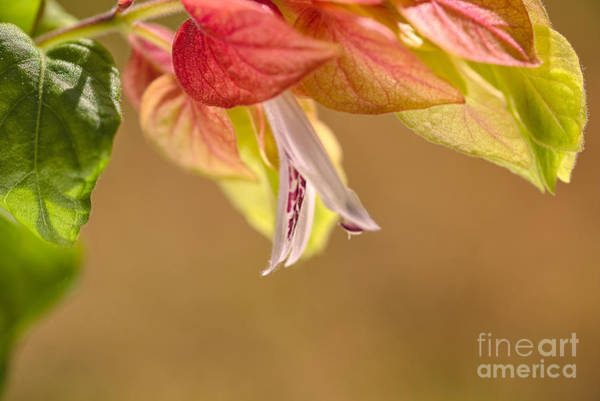 Photograph - Summer Shrimp Plant Flowering by Joy Watson