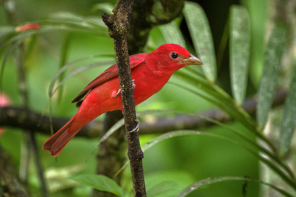 Photograph - Summer Tanager Entreaguas Ibague Tolima Colombia by Adam Rainoff