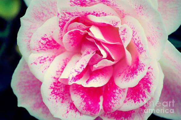 Photograph - Summer's Last Rose by Marcia Breznay