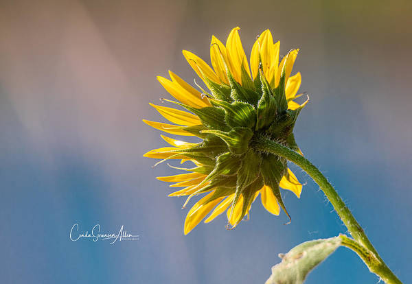 Wall Art - Photograph - Sun In My Face Flower by Connie Allen