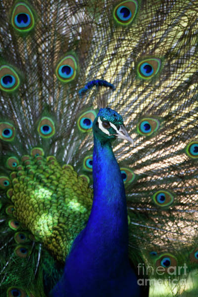 Wall Art - Photograph - Sun Kissed Peacock by Ruth Jolly